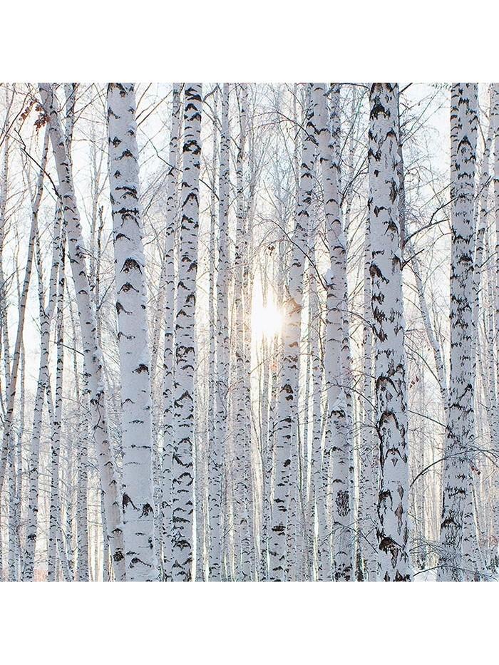 Birch & Snow